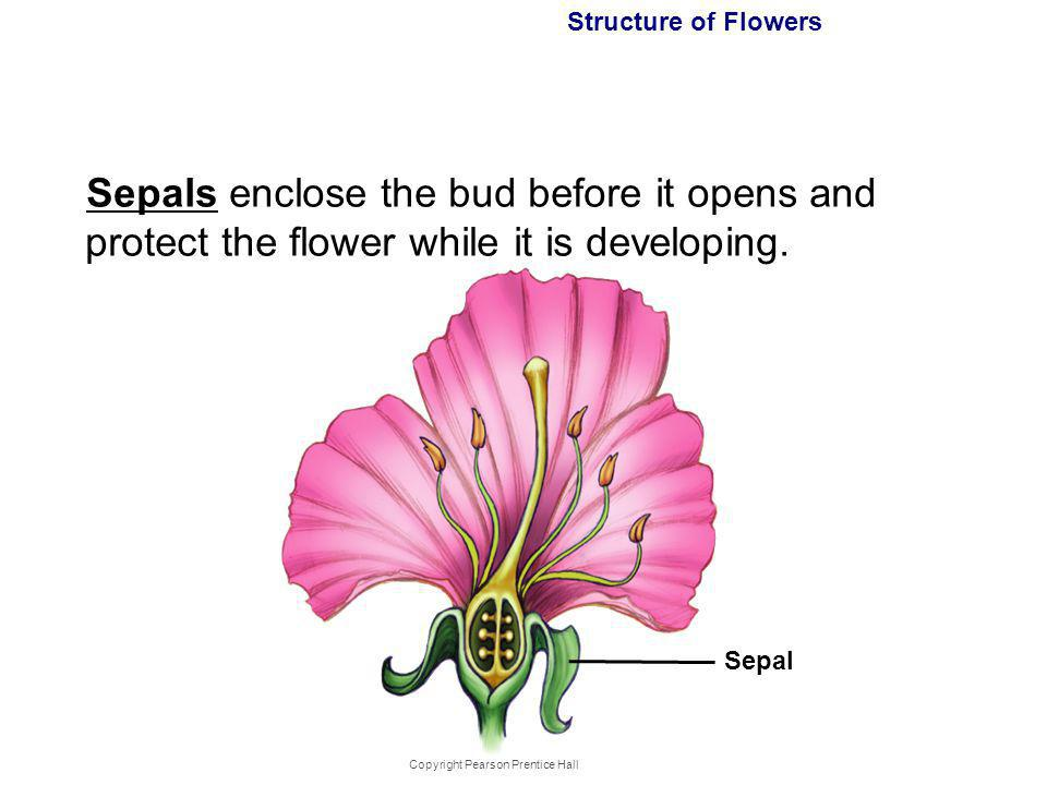 Copyright Pearson Prentice Hall Structure of Flowers Sepals enclose the bud before it opens and protect the flower while it is developing. Sepal