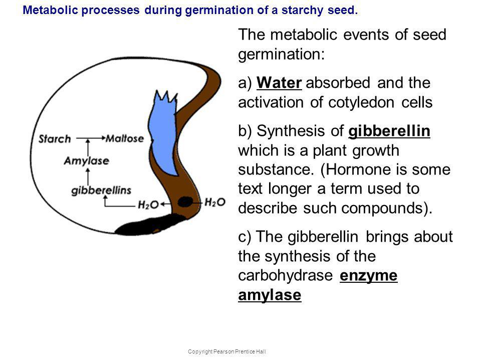 Metabolic processes during germination of a starchy seed. The metabolic events of seed germination: a) Water absorbed and the activation of cotyledon