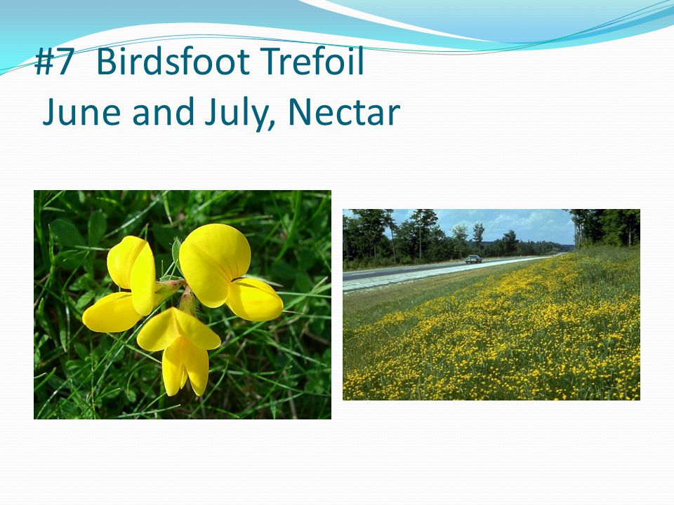 #7 Birdsfoot Trefoil June and July, Nectar