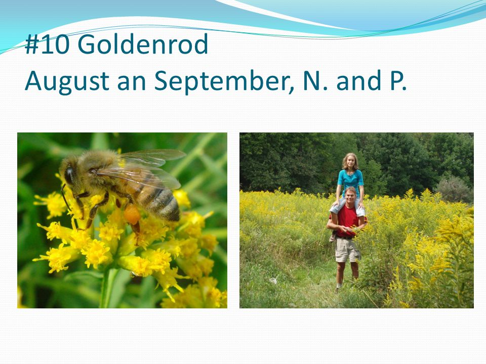 #10 Goldenrod August an September, N. and P.