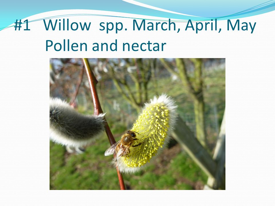 #1 Willow spp. March, April, May Pollen and nectar