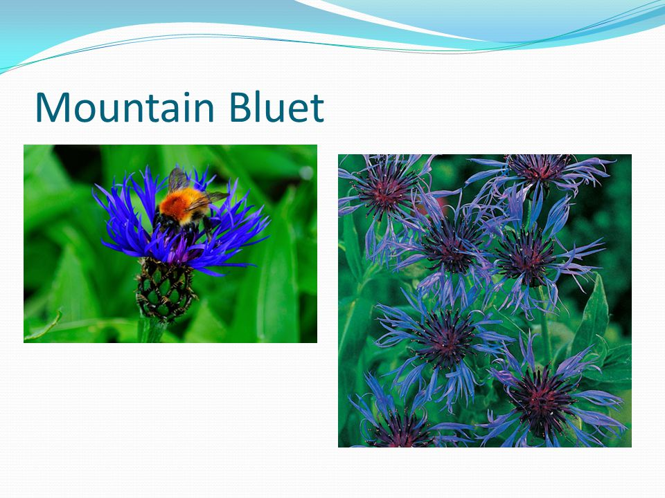 Mountain Bluet