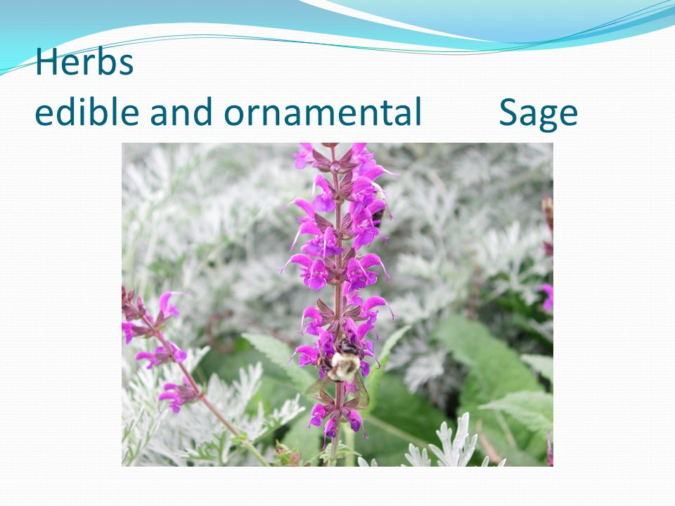 Herbs edible and ornamental Sage