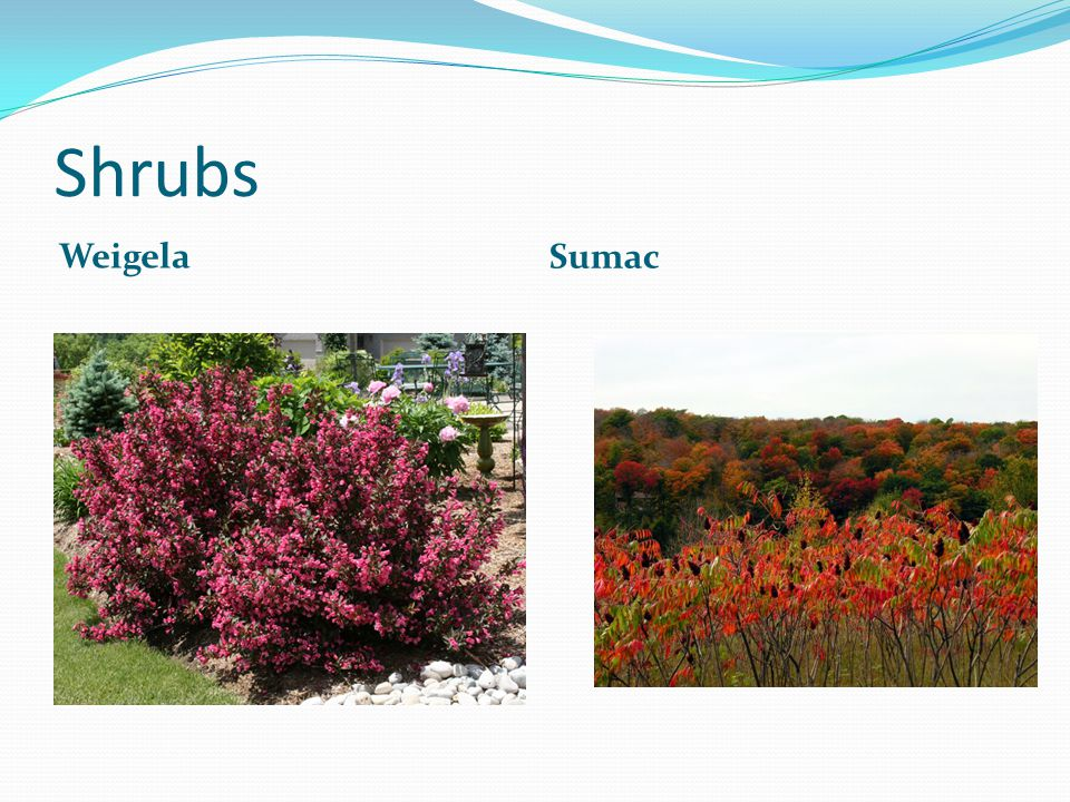 Shrubs Weigela Sumac