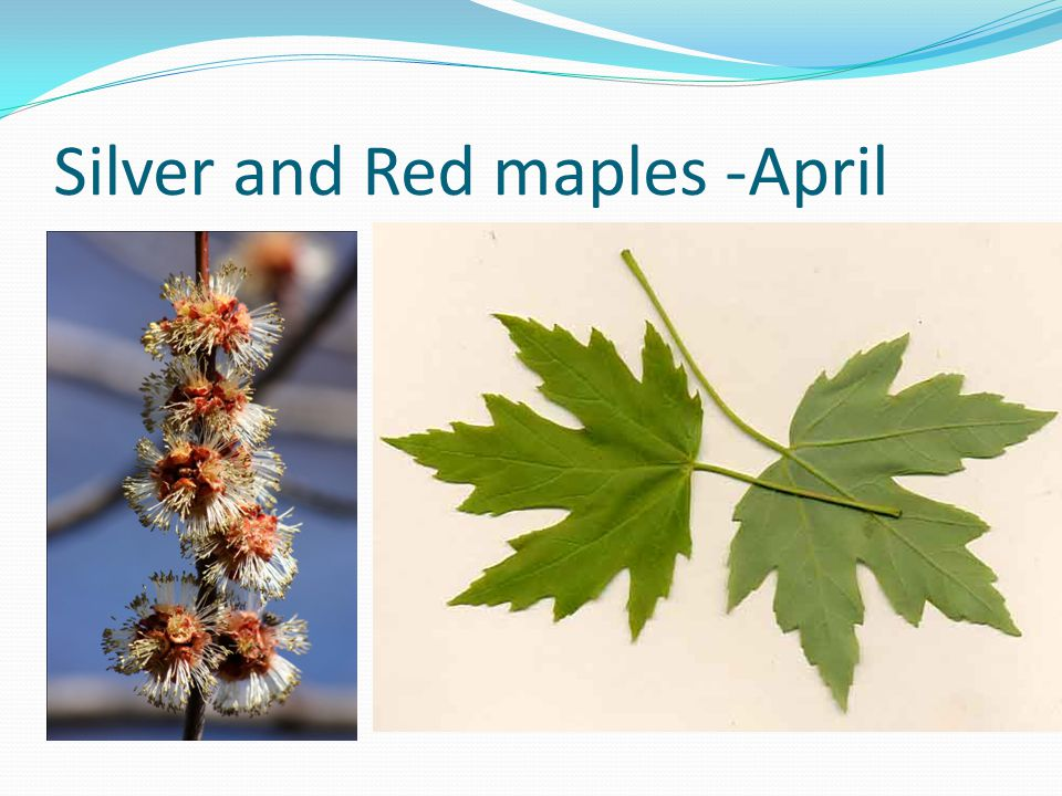 Silver and Red maples -April