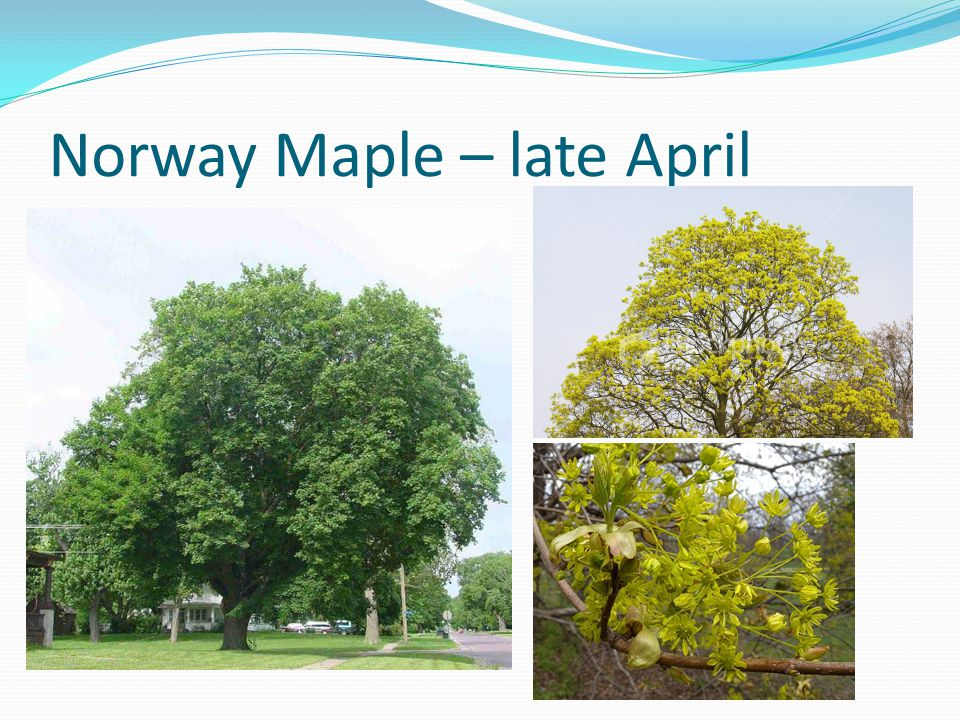 Sugar Maple - early May