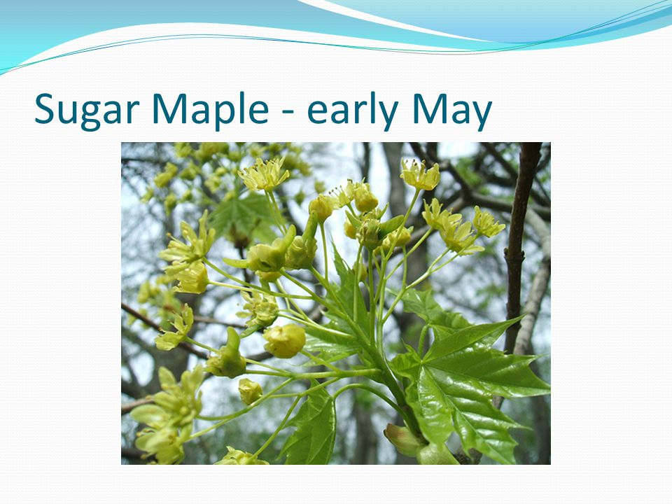 Sugar Maple - early May