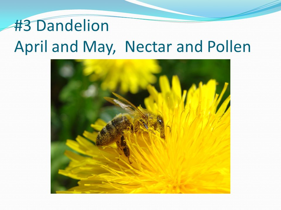 #4 Canola May and June, Pollen and Nectar
