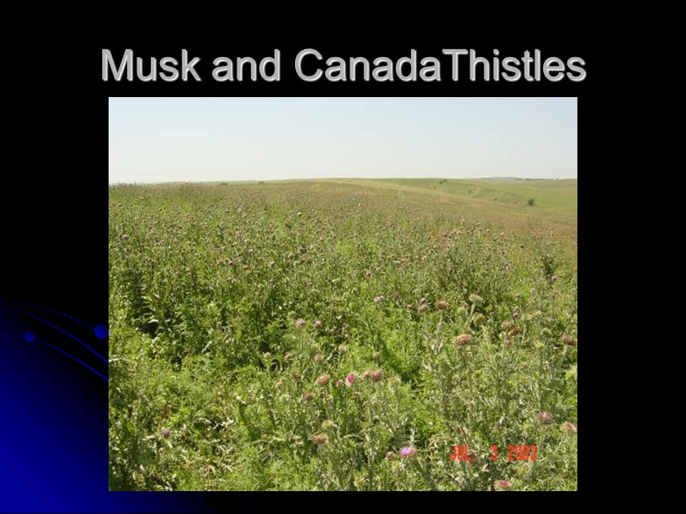 Musk and CanadaThistles
