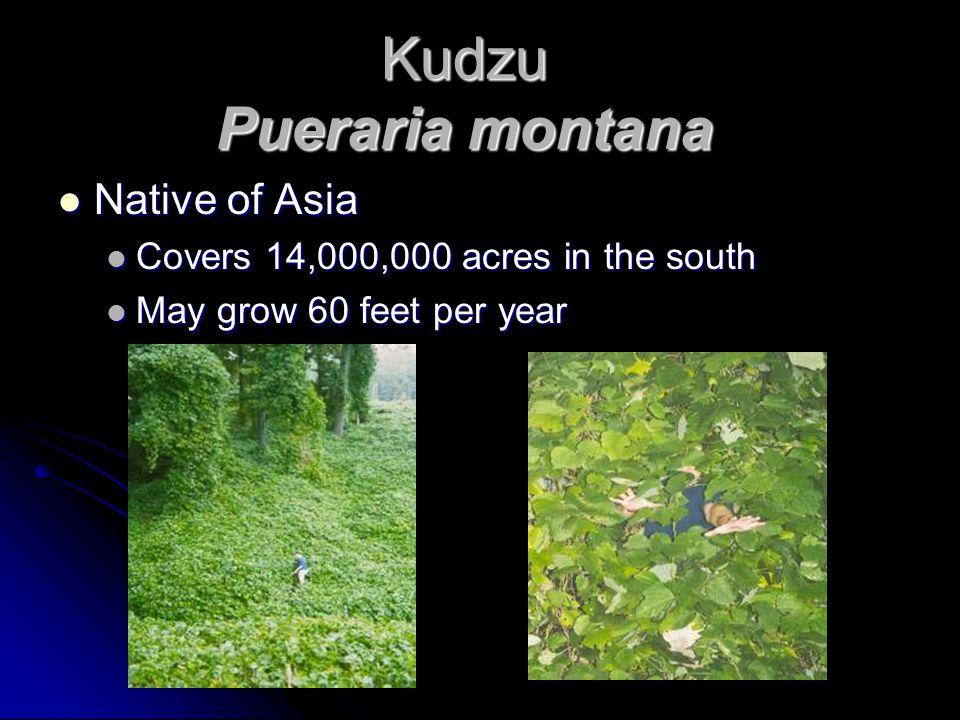 Kudzu Pueraria montana Native of Asia Native of Asia Covers 14,000,000 acres in the south Covers 14,000,000 acres in the south May grow 60 feet per year May grow 60 feet per year