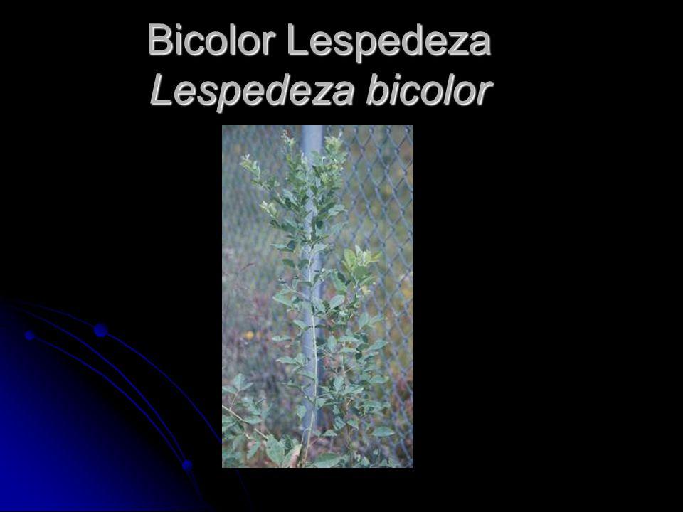 Bicolor Lespedeza Lespedeza bicolor