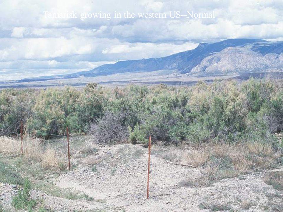Tamarisk growing in the western US--Normal