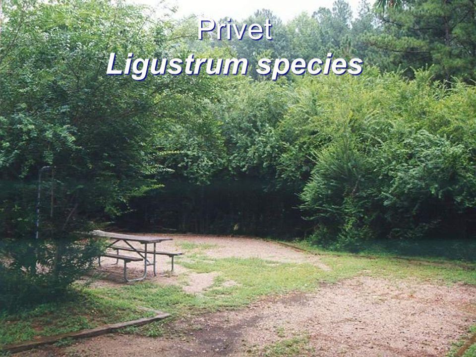 Privet Ligustrum species