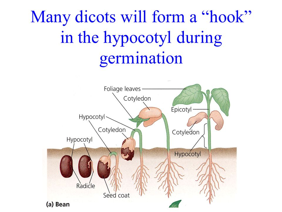 Many dicots will form a hook in the hypocotyl during germination