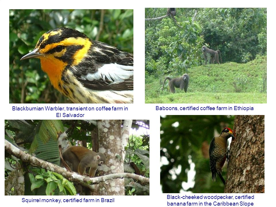 Blackburnian Warbler, transient on coffee farm in El Salvador Baboons, certified coffee farm in Ethiopia Squirrel monkey, certified farm in Brazil Black-cheeked woodpecker, certified banana farm in the Caribbean Slope