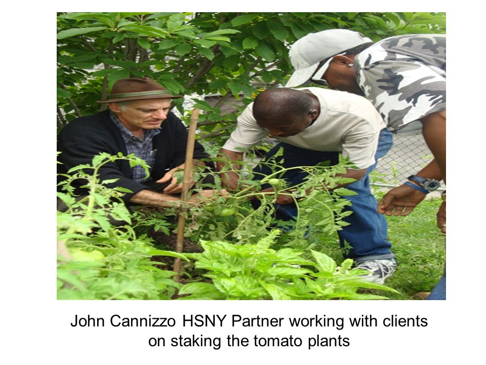 John Cannizzo HSNY Partner working with clients on staking the tomato plants