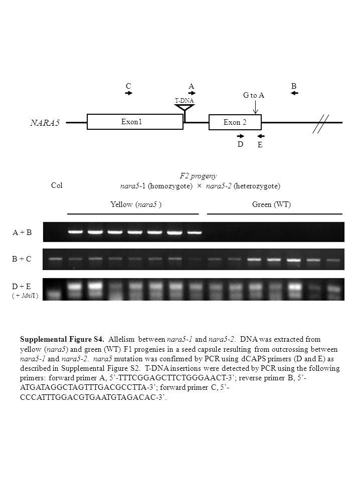 Col F2 progeny nara5-1 (homozygote) × nara5-2 (heterozygote) Yellow (nara5 )Green (WT) D + E ( + MnlI ) A + B B + C Supplemental Figure S4. Allelism b