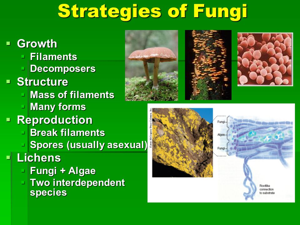 Strategies of Fungi Growth Growth Filaments Filaments Decomposers Decomposers Structure Structure Mass of filaments Mass of filaments Many forms Many forms Reproduction Reproduction Break filaments Break filaments Spores (usually asexual) Spores (usually asexual) Lichens Lichens Fungi + Algae Fungi + Algae Two interdependent species Two interdependent species