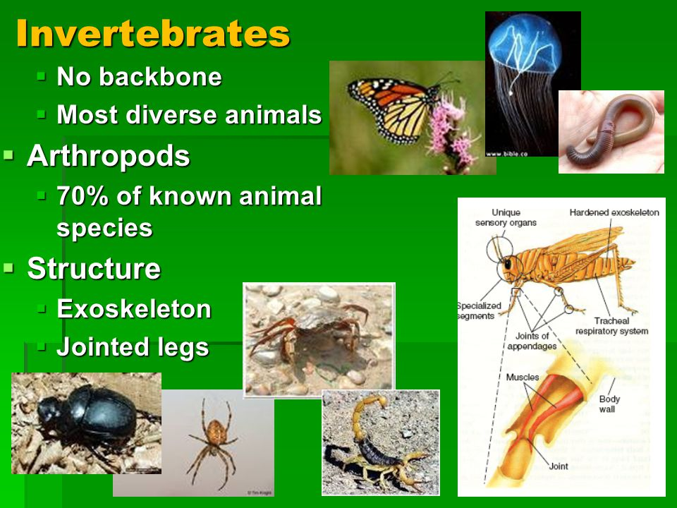 Invertebrates No backbone No backbone Most diverse animals Most diverse animals Arthropods Arthropods 70% of known animal species 70% of known animal species Structure Structure Exoskeleton Exoskeleton Jointed legs Jointed legs