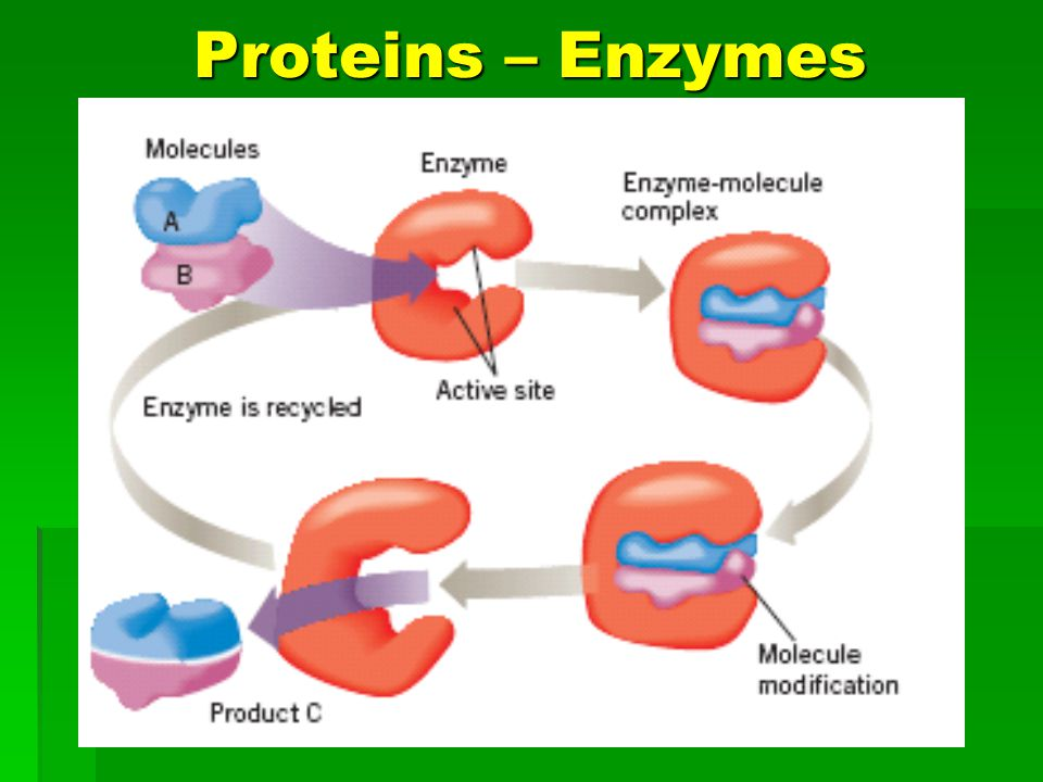 Proteins – Enzymes