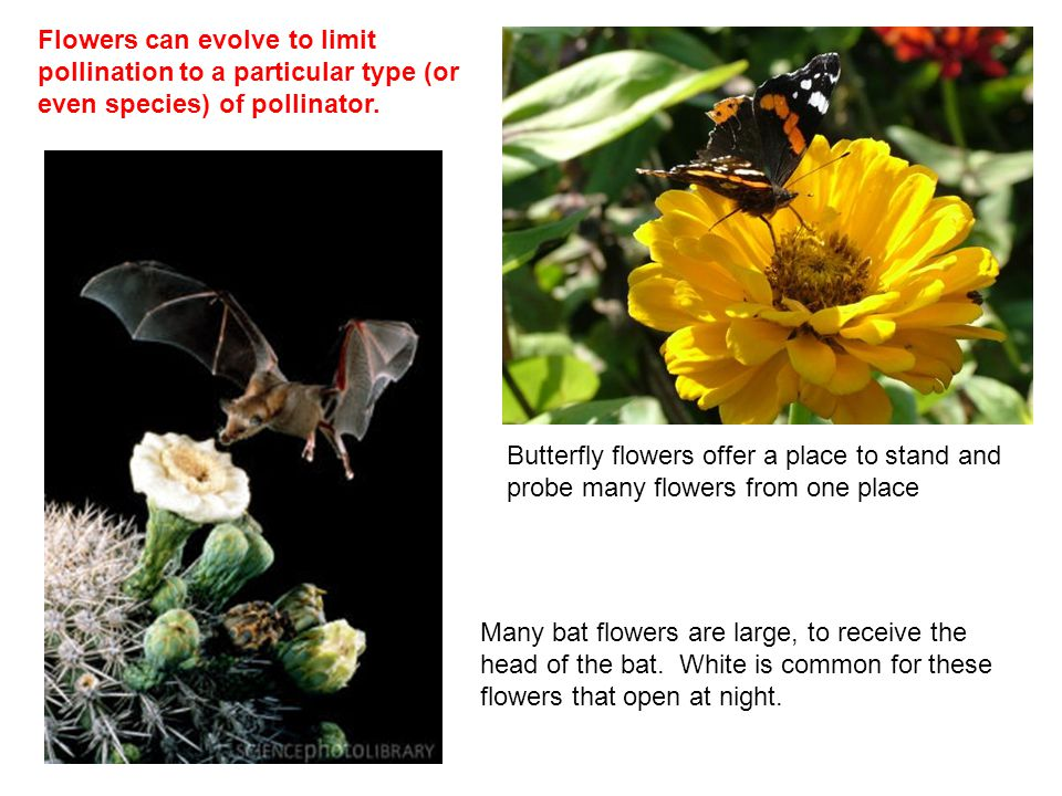 Flowers can evolve to limit pollination to a particular type (or even species) of pollinator. Butterfly flowers offer a place to stand and probe many