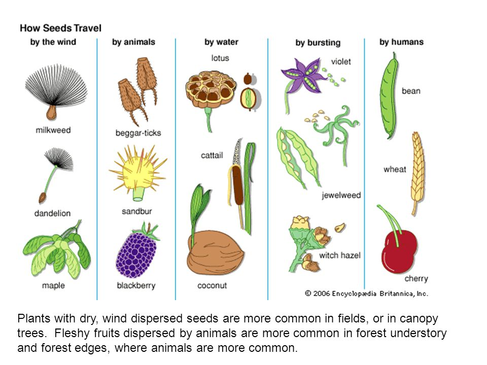 Plants with dry, wind dispersed seeds are more common in fields, or in canopy trees. Fleshy fruits dispersed by animals are more common in forest unde