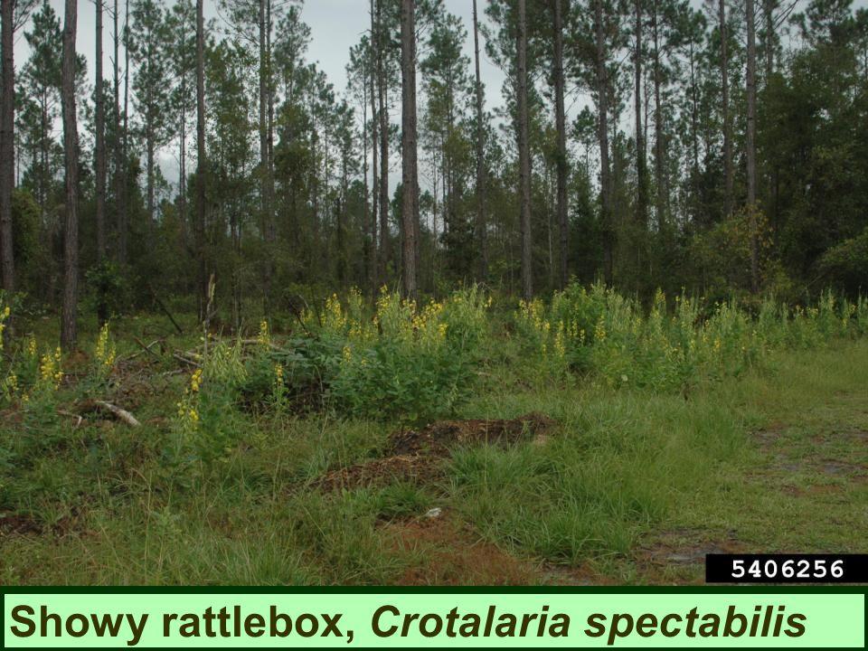 Showy rattlebox, Crotalaria spectabilis