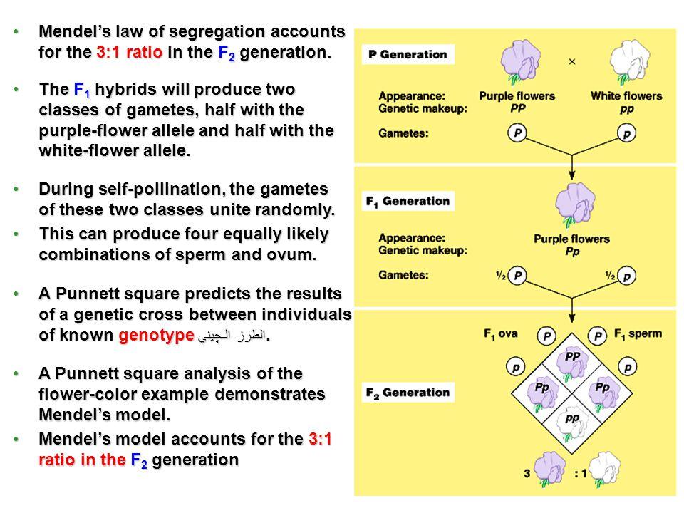 A Punnett square analysis of the flower-color example demonstrates Mendels model.A Punnett square analysis of the flower-color example demonstrates Me