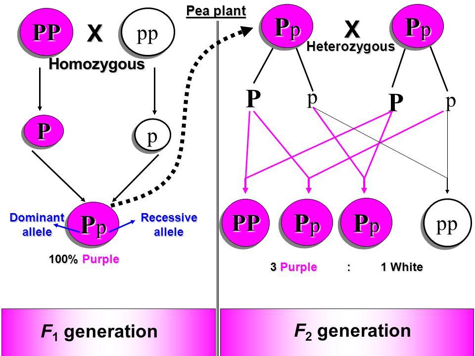 13 PpPpPpPp PpPpPpPp P p P p PPPP PpPpPpPp PpPpPpPp PpPpPpPp PpPpPpPp pp PP p p 100% Purple F 2 generation 3 Purple : 1 White F 1 generation Recessive