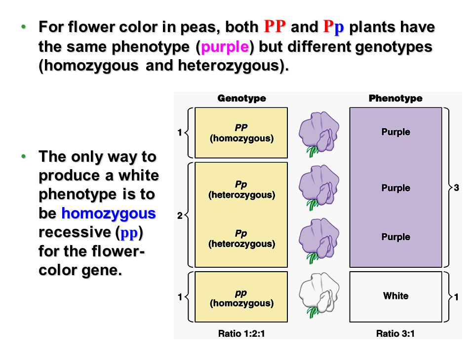 For flower color in peas, both PP and Pp plants have the same phenotype (purple) but different genotypes (homozygous and heterozygous).For flower colo