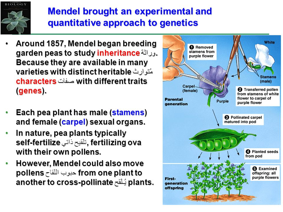3 Mendel brought an experimental and quantitative approach to genetics Around 1857, Mendel began breeding garden peas to study inheritance وراثة. Beca