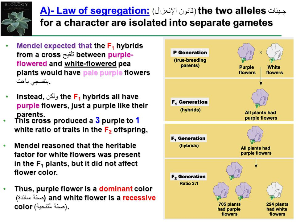 7 Mendel expected that the F 1 hybrids from a cross تلقيح between purple- flowered and white-flowered pea plants would have pale purple flowers.Mendel