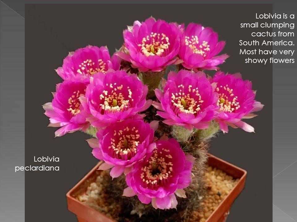 Lobivia peclardiana Lobivia is a small clumping cactus from South America.