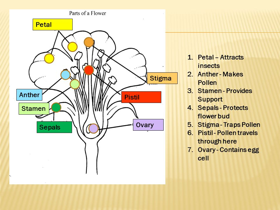 Petal Anther Stamen Sepals Stigma Pistil Ovary 1.Petal – Attracts insects 2.Anther - Makes Pollen 3.Stamen - Provides Support 4.Sepals - Protects flow