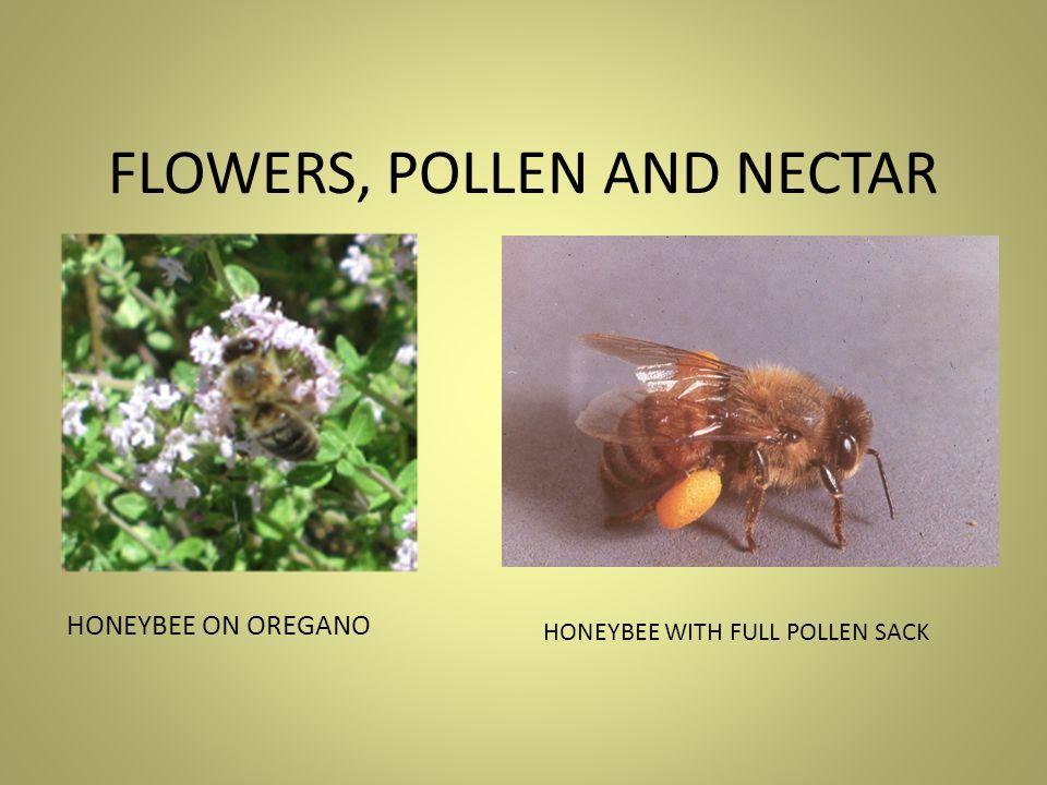 Bee with full pollen sacks on legs 22