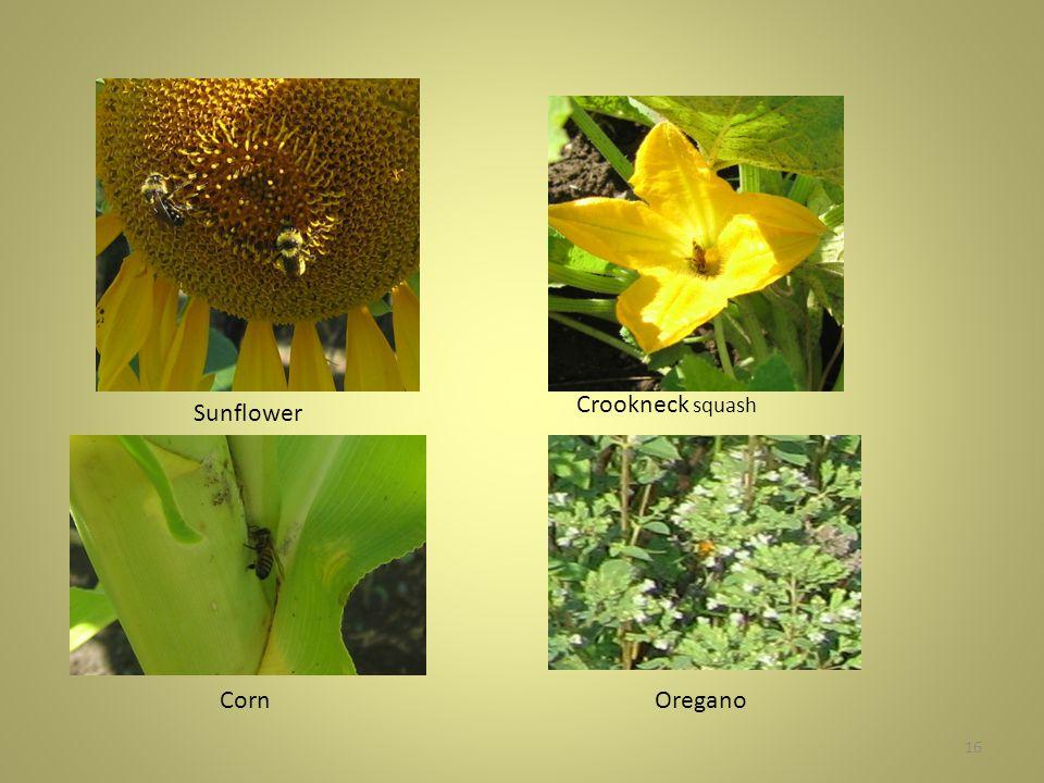 16 Sunflower Crookneck squash CornOregano
