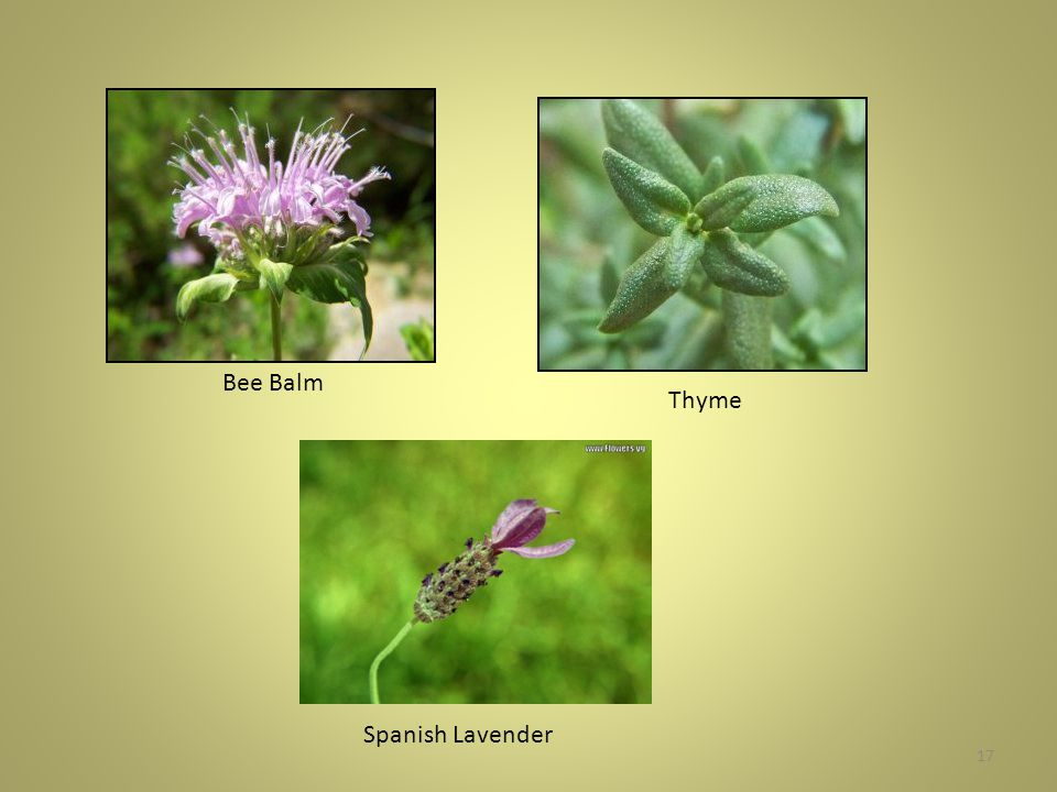 17 Bee Balm Thyme Spanish Lavender