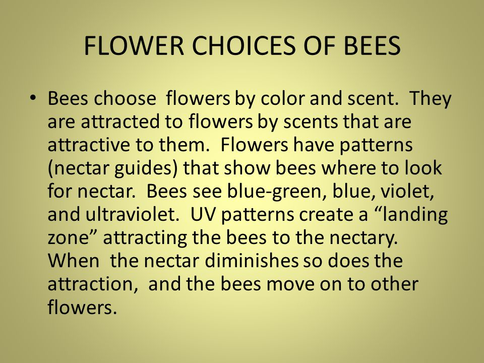 Honeybee on Snowberry Bush