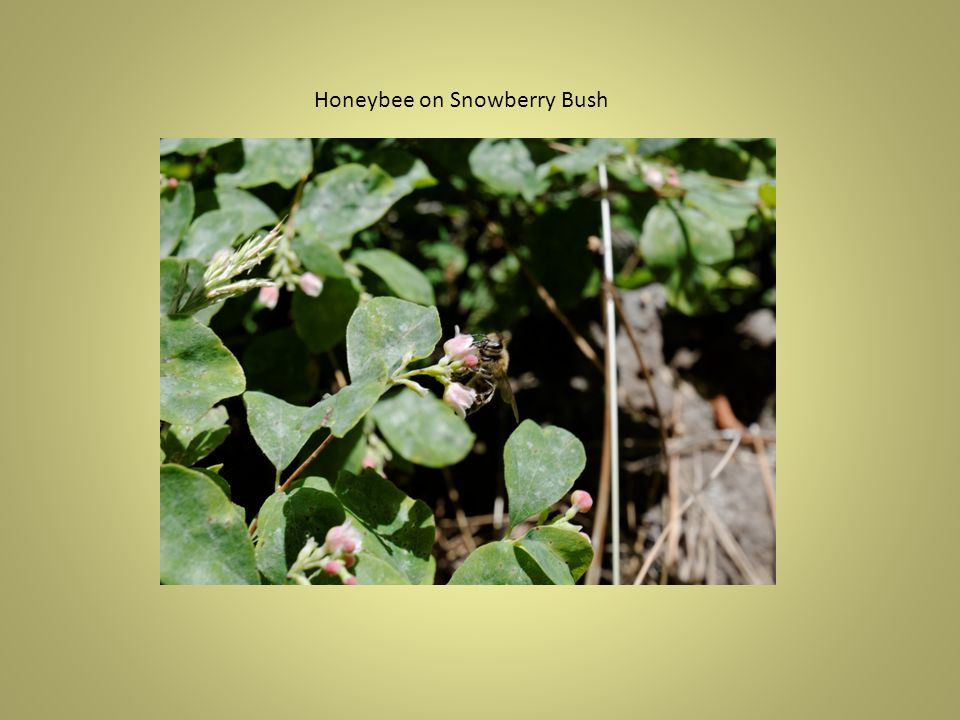Honeybee on Blueweed Honeybee on Common Camas