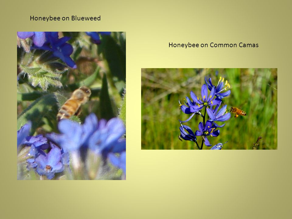 Honey Bees Require Proteins Carbohydrates Minerals Fats Vitamins Water All for normal growth and development 19