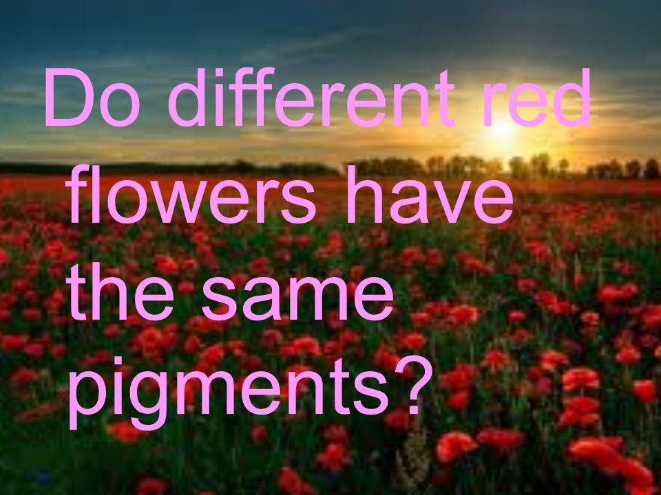 Hypothesis : My hypothesis is that all three red flowers I have collected will have the same pigments.