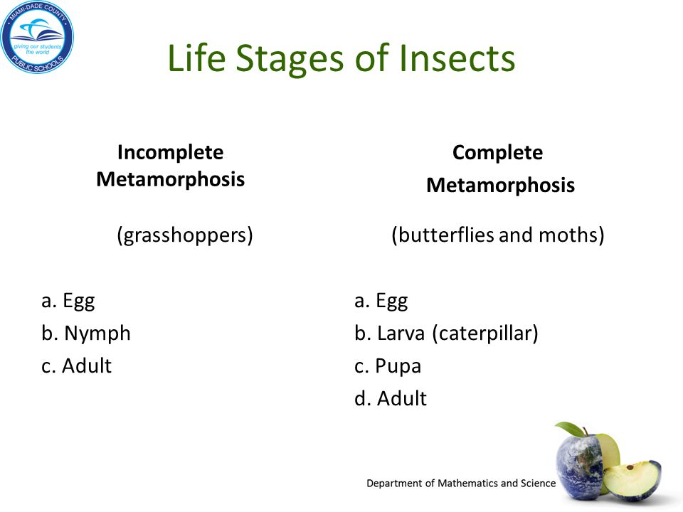 Life Stages of Insects Incomplete Metamorphosis (grasshoppers) a. Egg b. Nymph c. Adult Complete Metamorphosis (butterflies and moths) a. Egg b. Larva