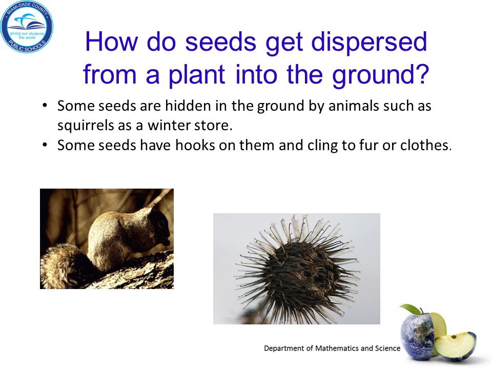 How do seeds get dispersed from a plant into the ground? Some seeds are hidden in the ground by animals such as squirrels as a winter store. Some seed