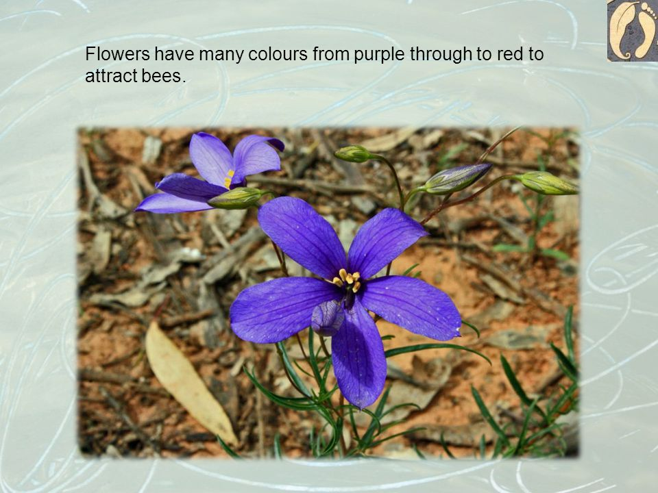 Flowers have many colours from purple through to red to attract bees.