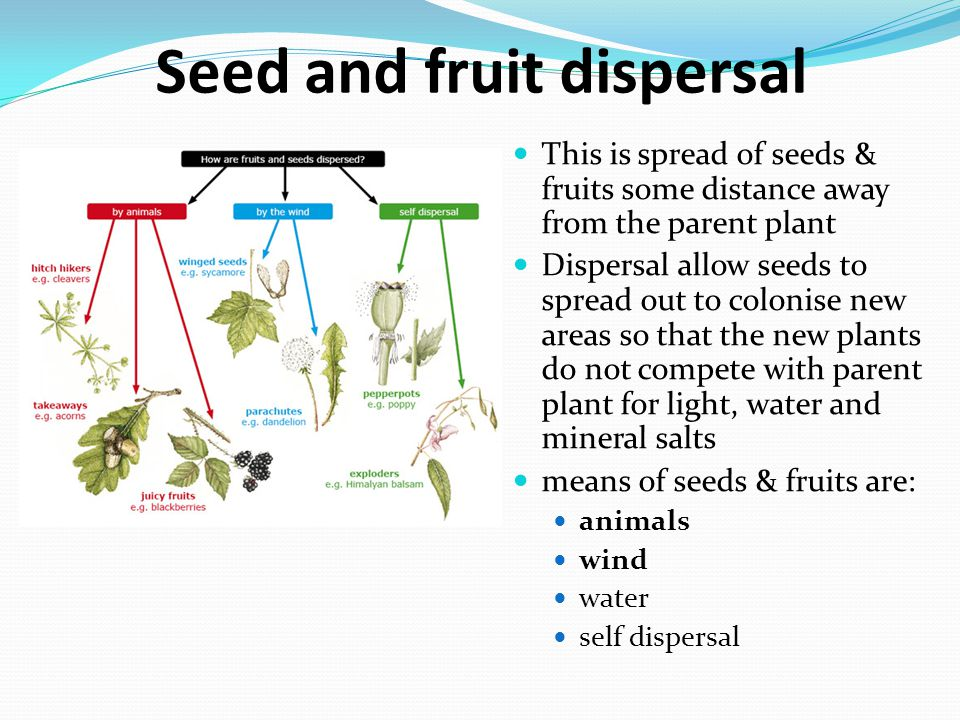 Seed and fruit dispersal This is spread of seeds & fruits some distance away from the parent plant Dispersal allow seeds to spread out to colonise new