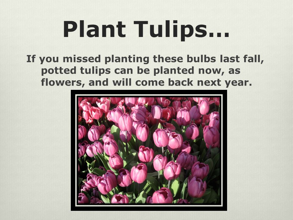 Plant Tulips… If you missed planting these bulbs last fall, potted tulips can be planted now, as flowers, and will come back next year.