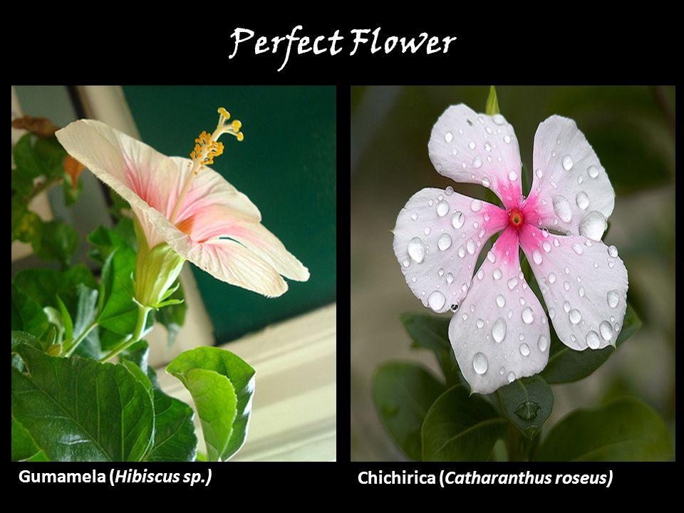Gumamela (Hibiscus sp.) Chichirica (Catharanthus roseus) Perfect Flower