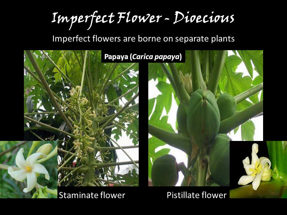Papaya (Carica papaya) Staminate flower Pistillate flower Imperfect Flower - Dioecious Imperfect flowers are borne on separate plants