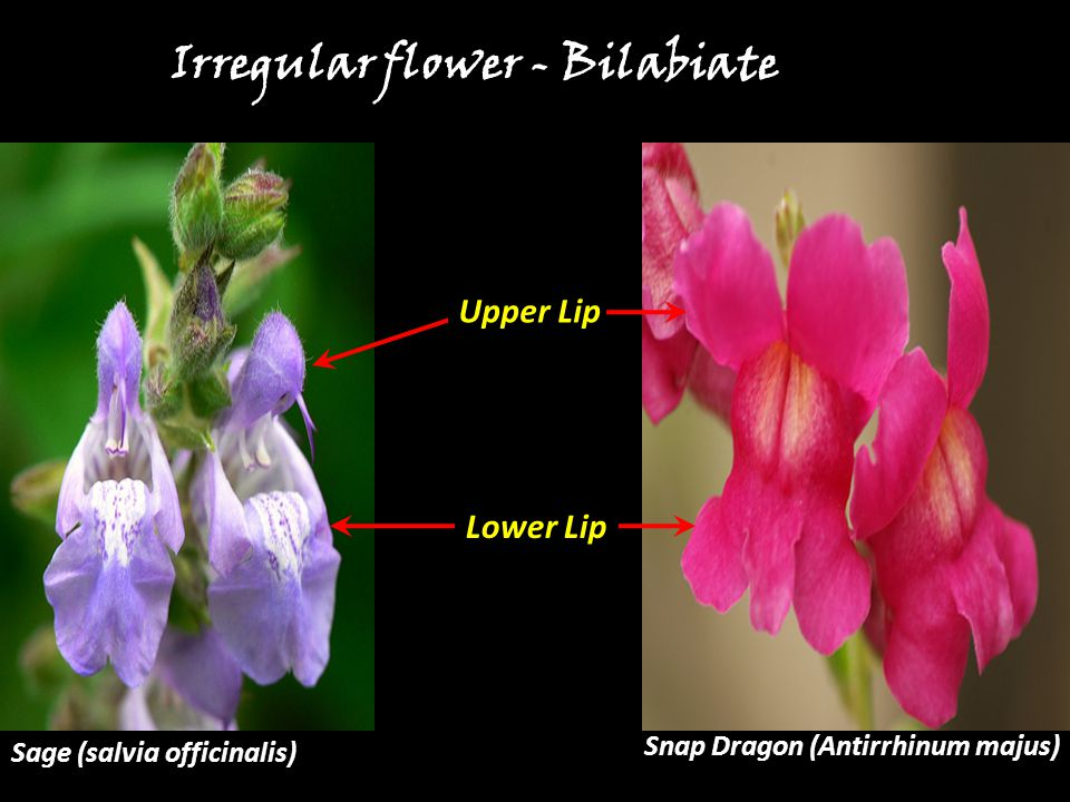 Irregular flower - Bilabiate Snap Dragon (Antirrhinum majus) Upper Lip Lower Lip Sage (salvia officinalis)