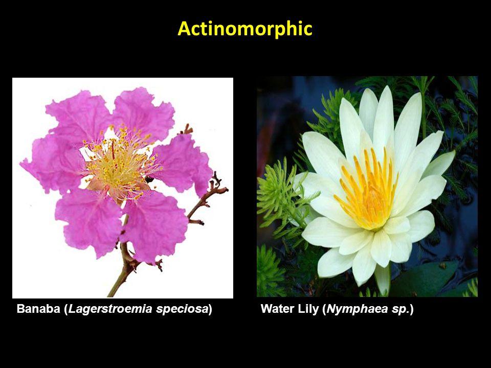 Banaba (Lagerstroemia speciosa) Actinomorphic Water Lily (Nymphaea sp.)